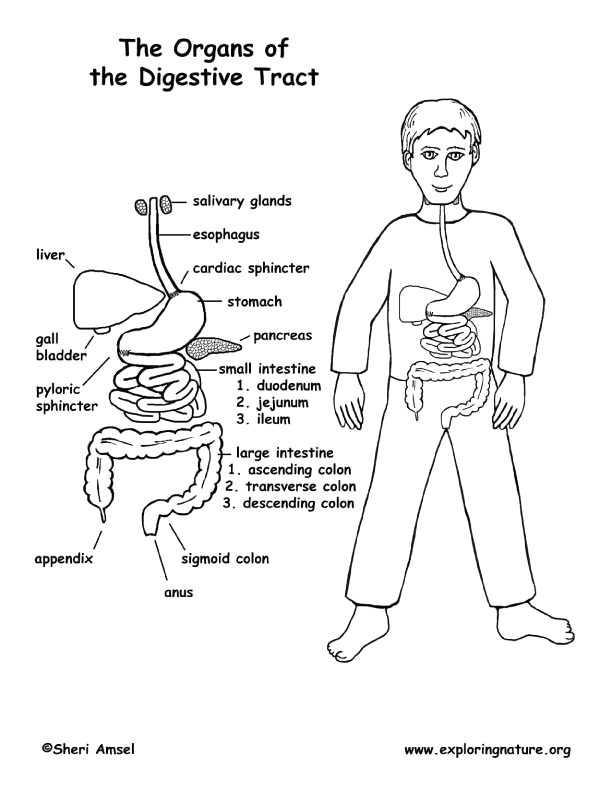 Body Systems Coloring Pages for Middle School Digestive Tract organs Coloring Middle School