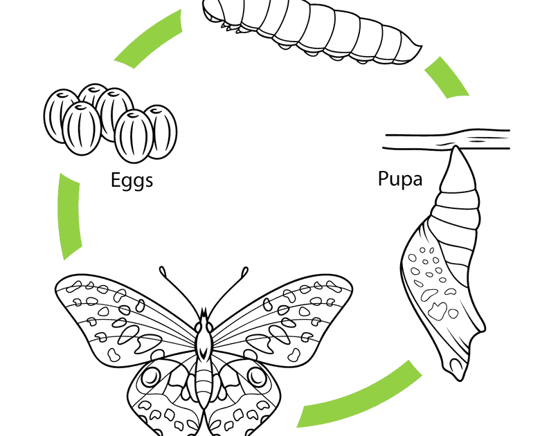 life cycle of butterfly coloring page
