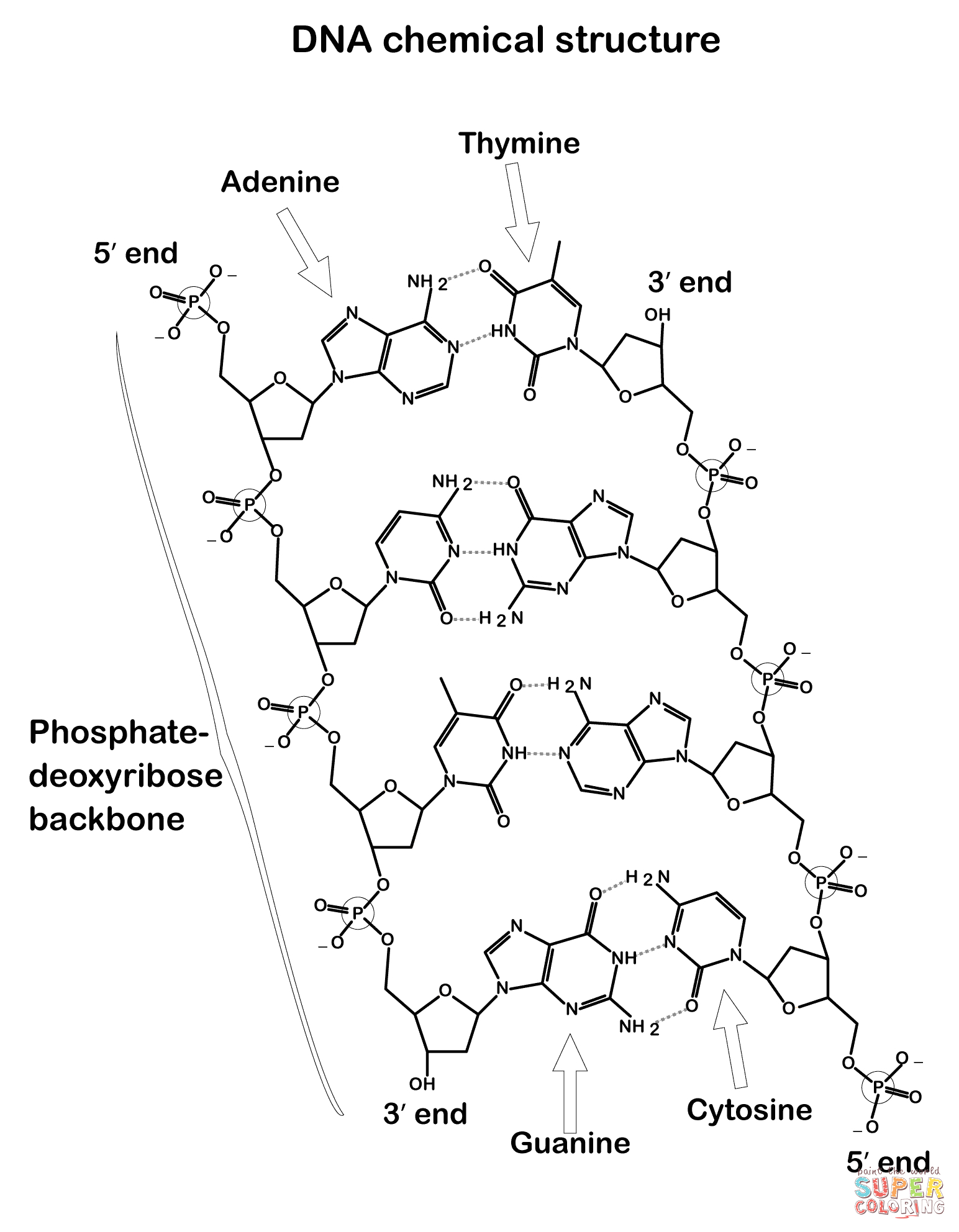On the Following Page Color the Dna Structure Dna Chemical Structure Coloring Page